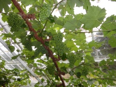 Vinery with grapes