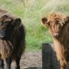 Highland cattle, PollokPark