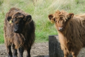 Highland cattle, Pollok Park