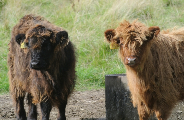 Highland cattle, Pollok Park