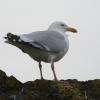 North Berwick gull