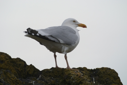 North Berwick gull