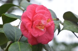 Kibble Palace rose