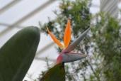 Kibble Palace - bird of paradise