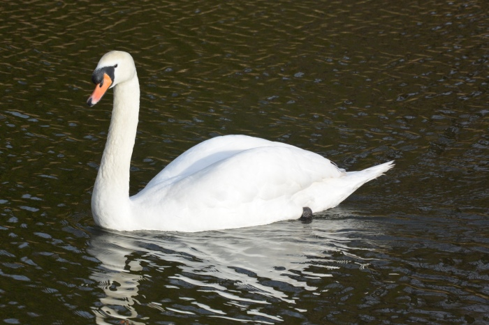One swan!