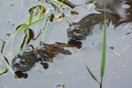 Frogs, Langlands Moss