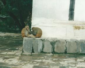 Pashupatinath monkeys