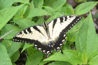 Harpers Ferry Butterfly