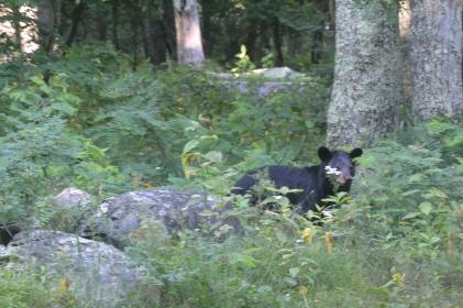 Shenandoah bear