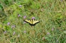Blue Ridge Parkway butterfly