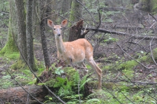 Deer on Endless Wall trail