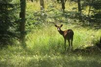 Deer at Blackwater Falls