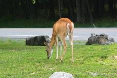 Deer at Canaan Valley SP
