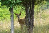 Deer on the Knobley Road