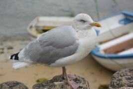 Greedy gull