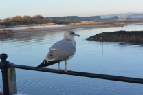 Harbour gull