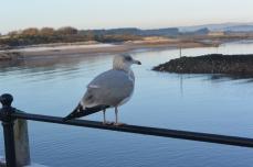 Harbour gull