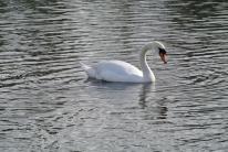 Victoria Park swan