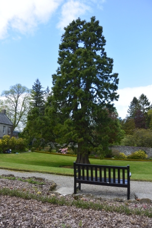 Wellingtonia tree
