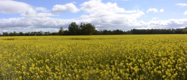 Rapeseed fields near Dunmore