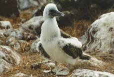 Frigatebird chick