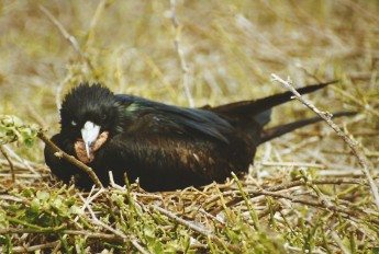 Male frigatebird deflated