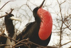 Frigatebirds 2