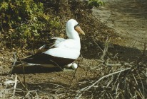 Masked booby and eggs