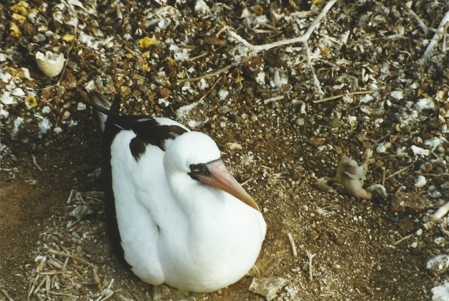 Masked booby, broken egg and dead chick