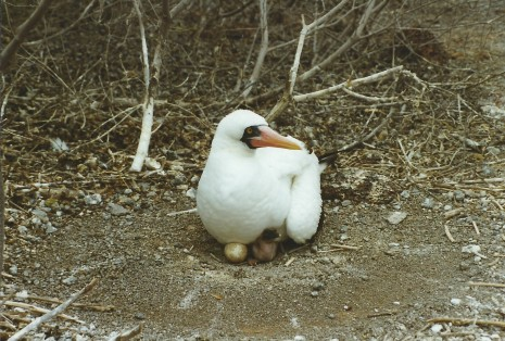 Masked booby, egg and chick