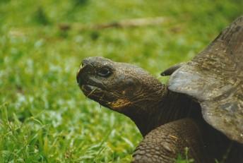 Giant tortoise close up