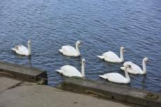 Irvine swans