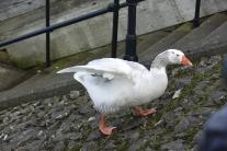 Irvine goose