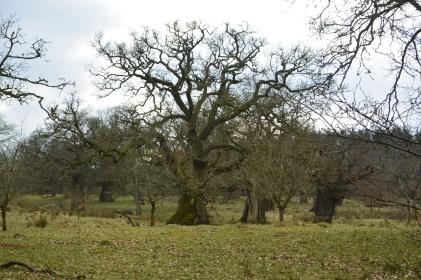 Cadzow Oaks