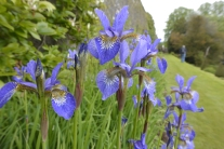 Irises in the Long Wall Border