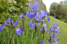 Irises in the Long Wall Border