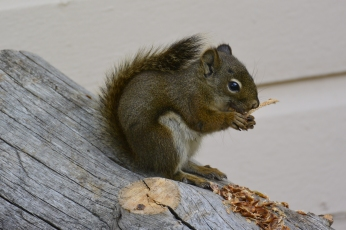 Fort Yellowstone squirrel