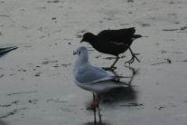 Birds on South Inch pond