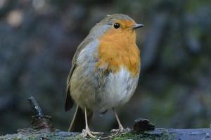 Robin redbreats