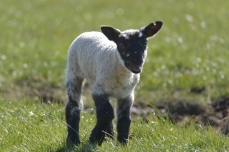 Lamb at Brothershiels Farm