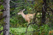 Maligne Lake Rd - deer