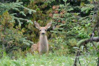 Maligne Lake Rd - deer