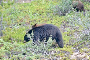 Bears on the Icefield Parkway