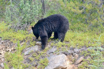Bear on the Icefield Parkway