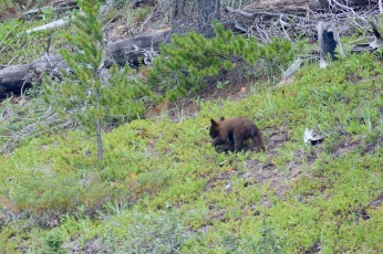 Bear cub on the Icefield Parkway