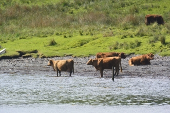 Kerrera cattle