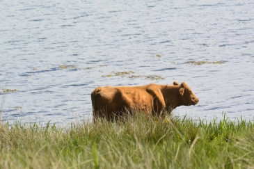 Kerrera cattle