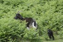 Kerrera goats