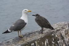 Inchcolm birds