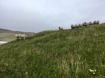 Vatersay sheep